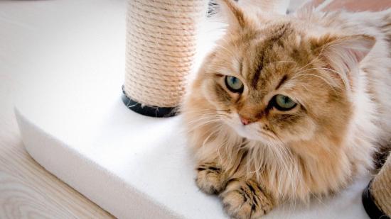 猫咪是好奇心很重的小动物,对家里的任何东西都可能觉得很好奇,比如家中的药箱。人类的药物可以说对猫咪是有一定的危害程度的,如果猫咪不小心误食可能会导致猫咪中毒,所以预防猫咪药物中毒和治疗猫咪药物中毒是每位家长需要关心的事情。  一般在猫咪食物中毒之后,饲养者可以及时的给猫咪补充水分,同时给猫咪输入生理盐水。同时多给猫咪 喂食温开水或稀释的盐水,然后帮助猫咪催吐。如果猫咪食物中毒严重,并且伴有手足发凉、面色发青、 血压下降等休克的症状,那么饲养者应该将猫咪立即平卧,双下肢尽量抬高并速请医生进行治疗。  当猫咪